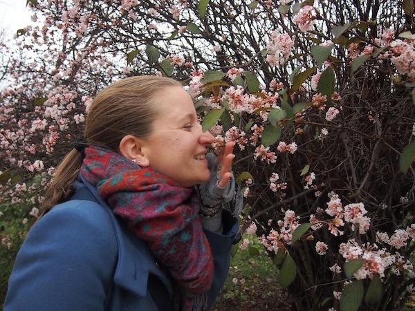 Mein Glück fasse ich kaum: Zart duftende Blüten im Jardin des Plantes mitten im Monat Dezember! Das muß der Klimawandel sein. Oder eine spezielle Gattung, die sich in Paris sehr wohlfühlt ...