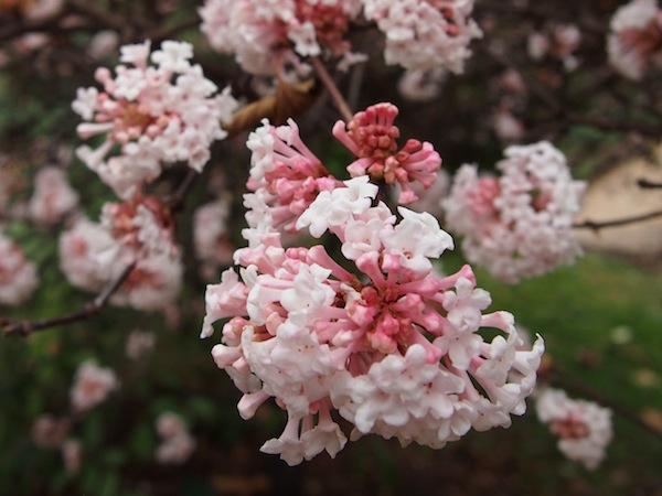 Diese Blüten haben es mir angetan. Wunderschön - und das im Dezember! Frühling, wo bist Du?