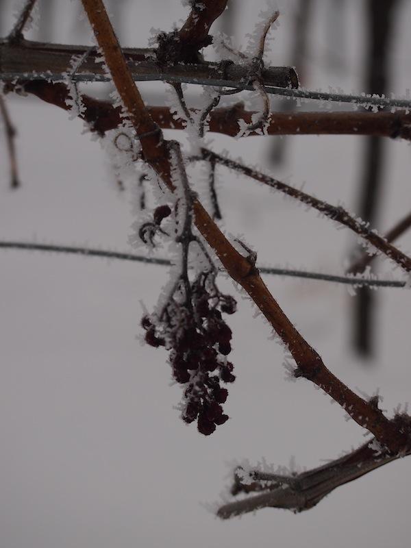 """... entlang der Lössterrassen stapfen wir also weiter und entdecken in den Weingartenzeilen den letzten """"Eiswein"""" der Saison ..."""