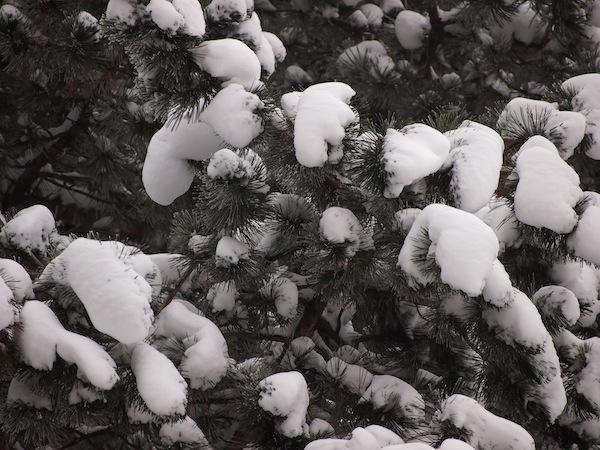 ... dick trägt der Baum sein Winterkleid ...