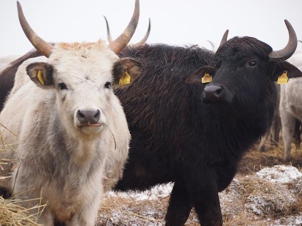 """Unterwegs gehören auch diese Nationalpark-Bewohner zu unseren """"heißen Favoriten"""": Die Graurinder, oder ungarischen Steppenrinder, haben sich den Seewinkel als Heimat auserkoren und ein dickes Fell gegen die winterliche Kälte entwickelt - oder dem sie ständig fotografierenden Reiseblogger-Konvoi ;-)"""