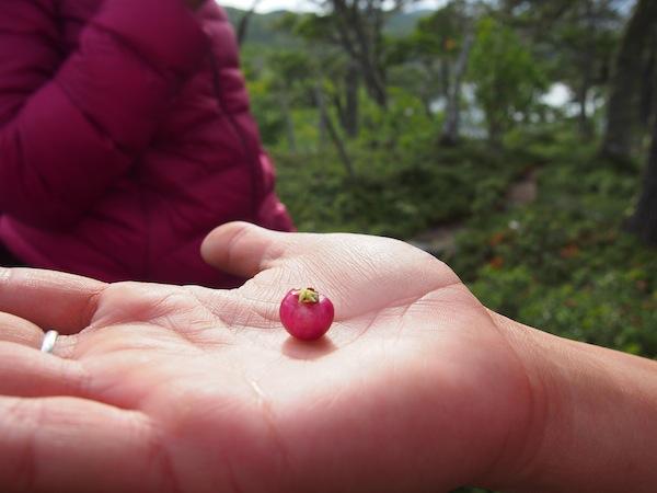 Beeren, die wie Miniatur-Äpfel aussehen, gehörten zu den Grundnahrungsmitteln der Ureinwohner Feuerlands.