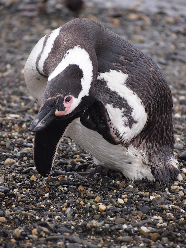 So süß: Schnäbelnde oder gar putzige Wesen, diese ca. kniehohen Pinguine.