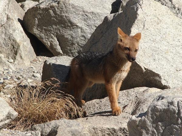 """Dieser Alpenfuchs, genannt """"Zorro"""", ist neugierig und grüßt uns wie zur Belohnung unseres ersten Tagesmarsches zu den Torres del Paine."""