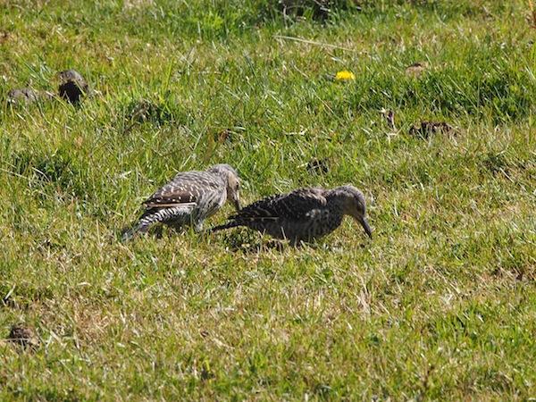 Immer wieder bieten sich uns weiters spektakuläre Aussichten auf die heimische Tierwelt, darunter diese heiter im Gras pickenden Vögel.