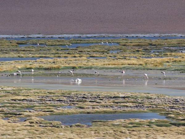 Here, we observe a colony of flamingos by a small desert lake.