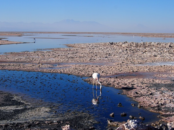 "The first stop on our ""Altiplano Lagoons"" full day tour is the Atacama Salt Flats, where we get to watch this amazingly peaceful scenery of flamingos feasting in the shallows."