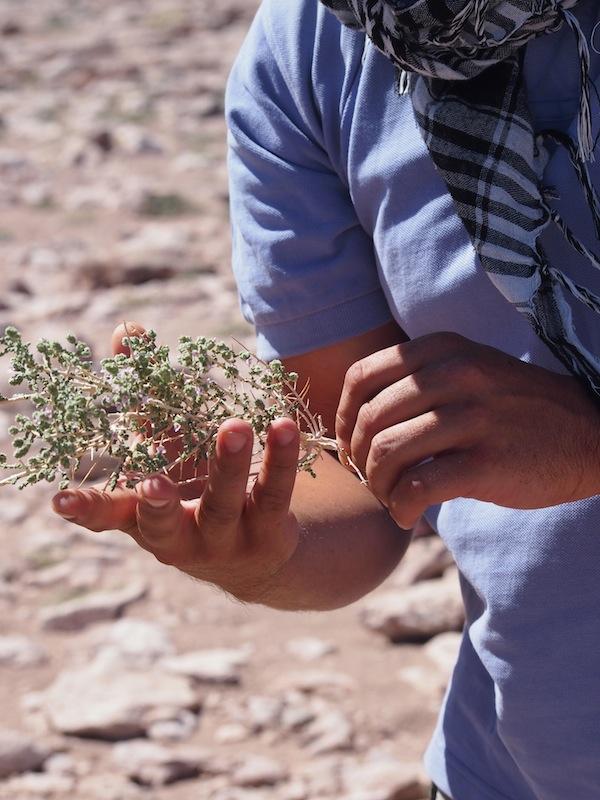 """Dank kürzlicher Regenfälle in der Wüste findet unser Guide David diese """"Rica-Rica""""-Pflanze, die sich beispielsweise gut als Ergänzung von Yerba Mate eignet."""