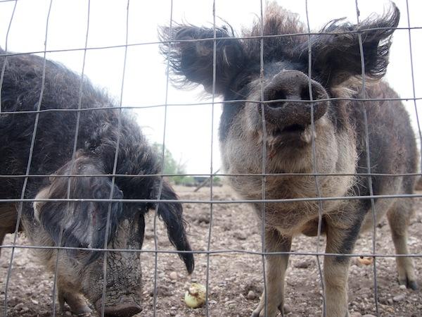 Süße Mangalitza-Schweine am Neusiedlersee.