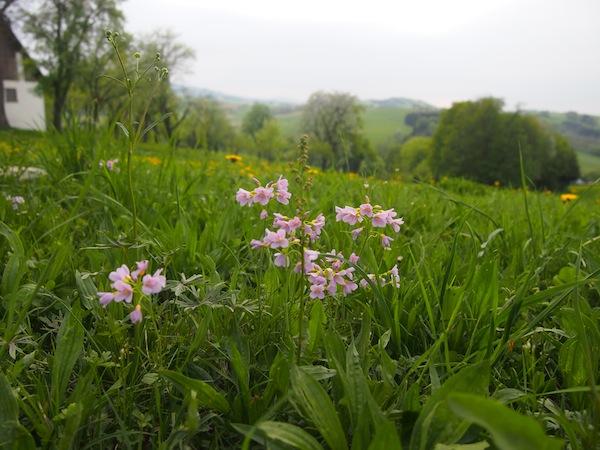 Die ersten zarten Blüten in der Mostviertler Frühlingssonne.