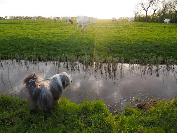 Die Kühe bieten keine Erleuchtung, sondern werden schon mal lieber verbellt.