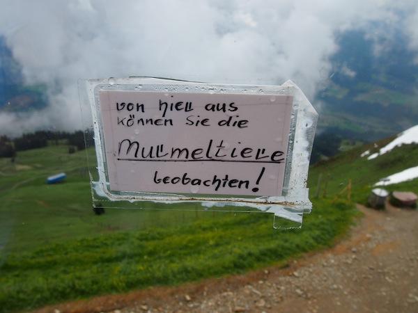 """Ob sie als Murmeltier wieder auftaucht? Gesehen haben wir durch die Fensterscheiben des Panoramarestaurants auf der Hohen Salve (1.829 Meter Seehöhe) jedenfalls ein paar dicke """"Mankeln"""", wie die Murmeltiere von den Einheimischen hier liebevoll genannt werden."""