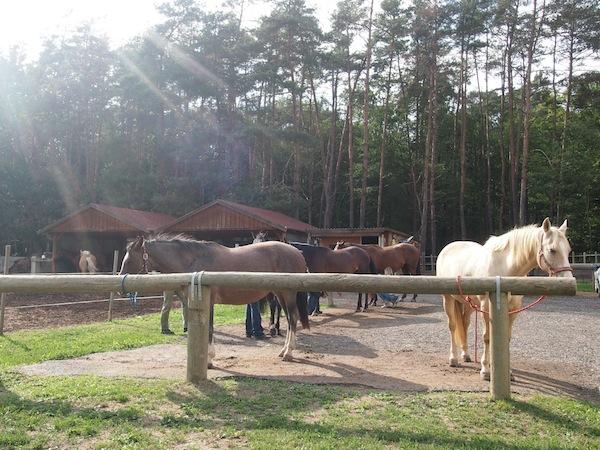 Kurz darauf lachen uns diese besonnenen Wesen an ... nahe des südburgenländischen Ortes Poppendorf liegt die Hacienda del Piero der Familie Wagner, Pferdeliebhaber durch & durch.