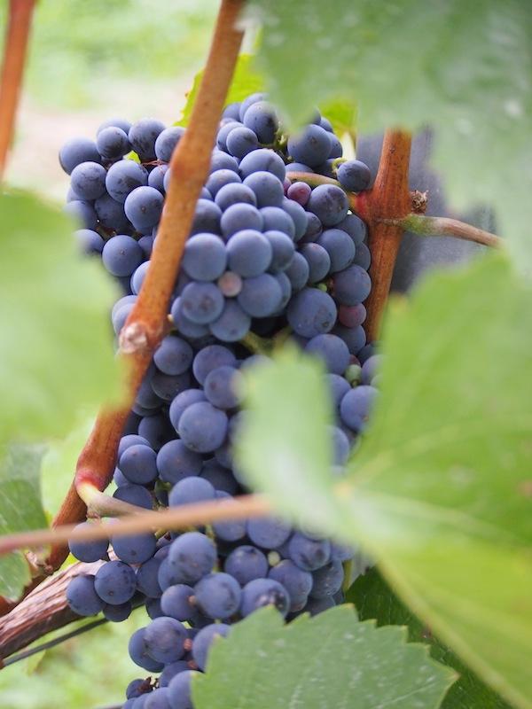 Die Trauben sind fast reif zur Ernte, wie hier pralle Blaufränkisch-Trauben, typisch für das Mittelburgenland ...