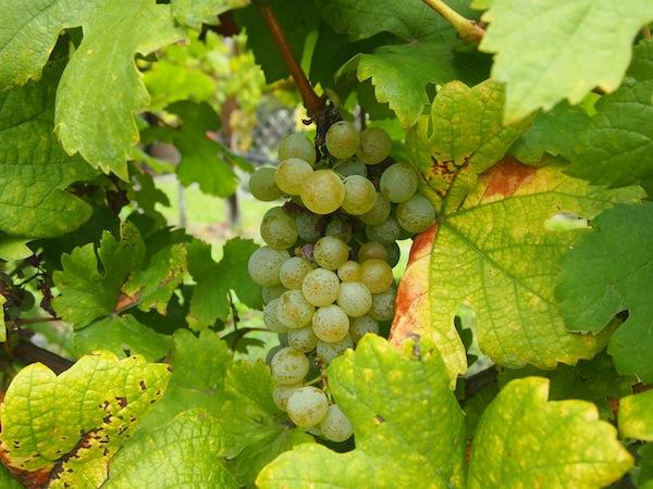 Die Trauben des Grünen Veltliner sind Österreichs bekannteste Rebsorte (fast 60% des Weißwein-Anbaus entfällt auf diese Sorte), somit die gleich doppelte Bedeutung dieses Bildes in der Farbkategorie GRÜN.