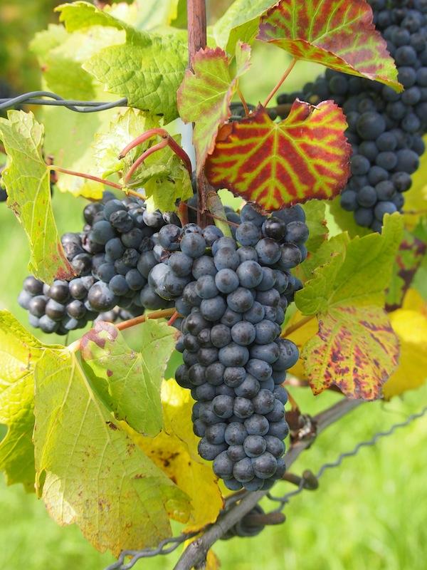 .. und erst diese Weintrauben! Dick und saftig prangen sie am Wegesrand ..