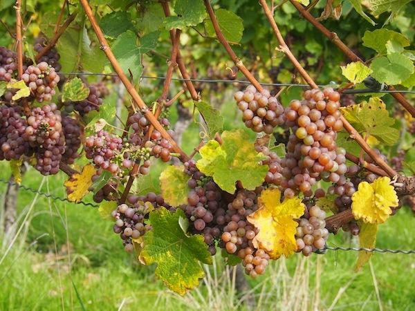 .. nur um wenig später in unsere Weingläser Eingang zu finden: Als Jungwein der Saison 2013, oder aber auch als frische Jahrgänge der letzten Jahre verkosten wir hier im WeinSüden Deutschlands wahrlich ausgezeichnete Weinsorten.