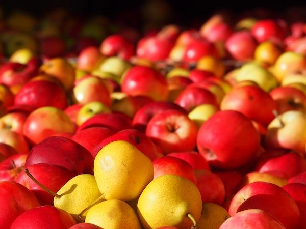 Blick in die frischen Obstkisten der Familie Hirmann: Golden glänzt, was in dem Falle Goldes wert ist - die reifen Äpfel zur Verarbeitung für Saft & Essig.