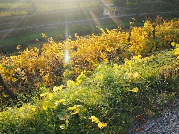 Lieblingsbild Nr. 4: Zart küsst die Sonne die noch grünen Gräser wie das sich bereits gelb verfärbte Laub ...