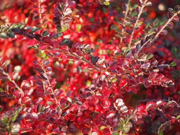 Lieblingsbild Nr. 3: Ganz schön kräftig prangen diese leuchtenden Rottöne eines Weingartenstrauchs am Wegesrand.