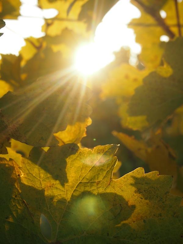 Lieblingsbild Nr. 7: Sonnentanz & Blätterreigen im Weingarten.
