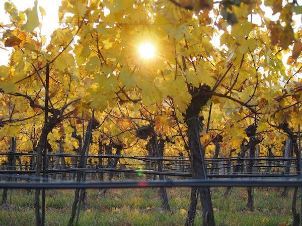 Lieblingsbild Nr. 9: Blick auf die untergehende Sonne durch den Weingarten mitsamt seinen charakteristischen Bewässerungsschläuchen.