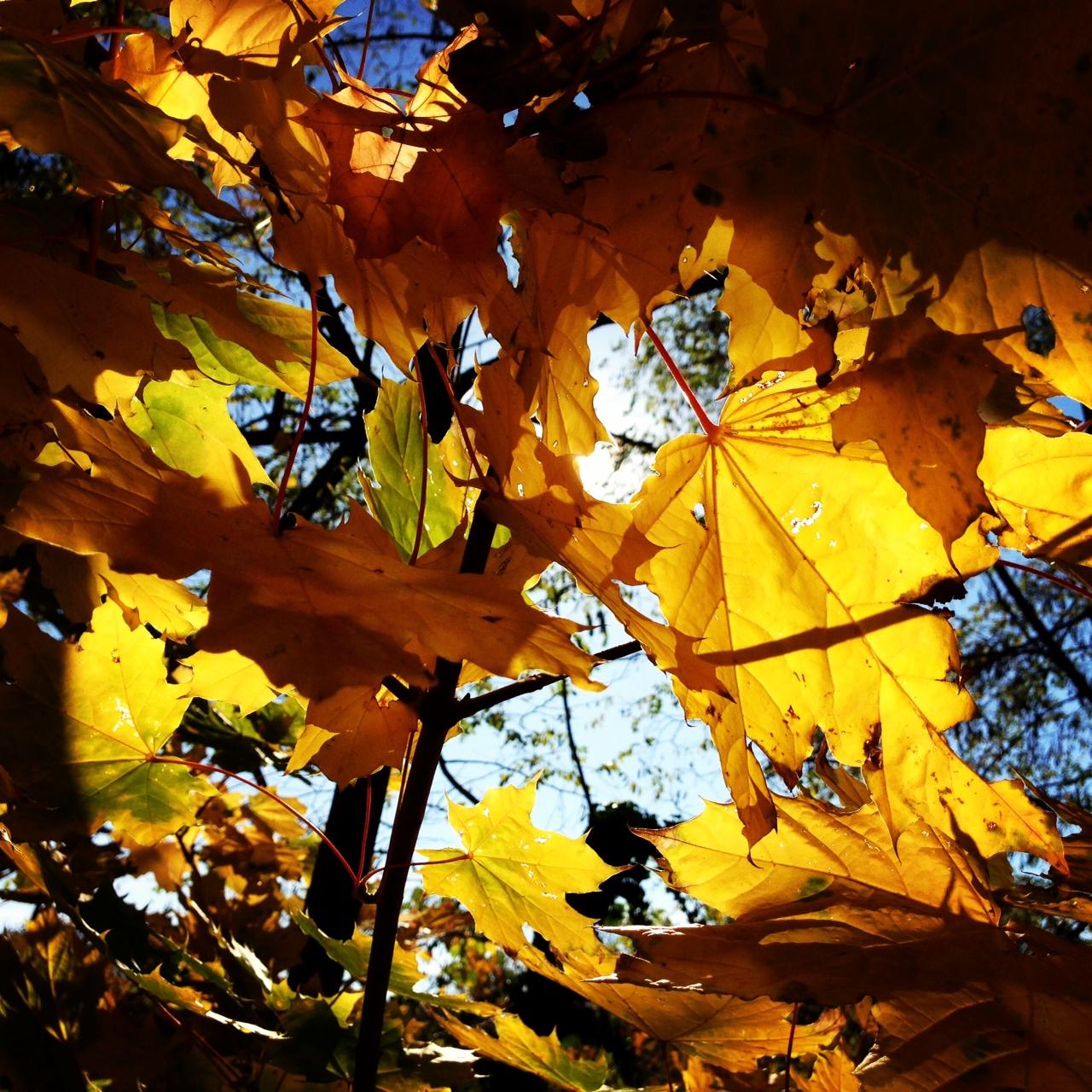 Solch intensive Farben ... Wahnsinn. An den Gelb-, Gold- und Rottönen des Herbst kann ich mich einfach nie sattsehen.