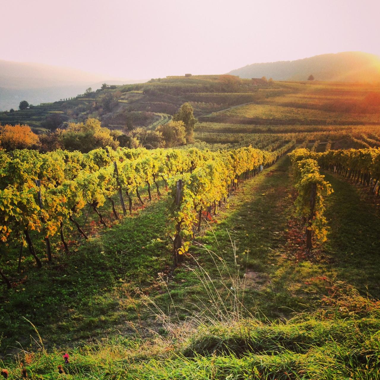 Last but not least: Als alte Heimat- & Wein-Fan musste es ein Weinrieden-Foto sein. :D Blick über die Weinberge von Krems im Licht der untergehenden Herbstsonne ... Für mich gibt es fast keinen schöneren Moment im Jahr, um Fotos wie diese zu schießen!