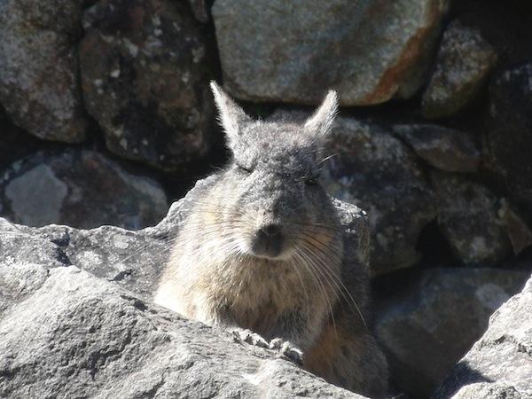 … und schließlich, immer wieder: Die faszinierende Tierwelt Südamerikas. Hier ein Andenhäschen beim nachmittäglichen Sonnenbad inmitten der berühmten Inka-Stadt Machu Picchu.