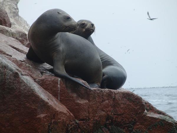 So nah an freilebende Robben bin ich nur an der Pazifikküste Perus herangekommen … man fühlt sich wie inmitten einer Naturdokumentation.