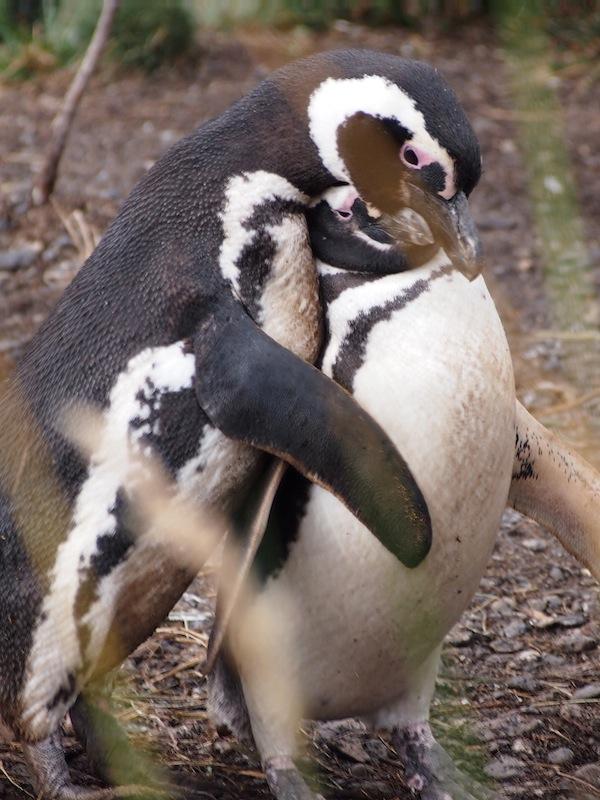 Gott waren diese Pinguine süß … Mehr davon gibt's beim Vortrag!