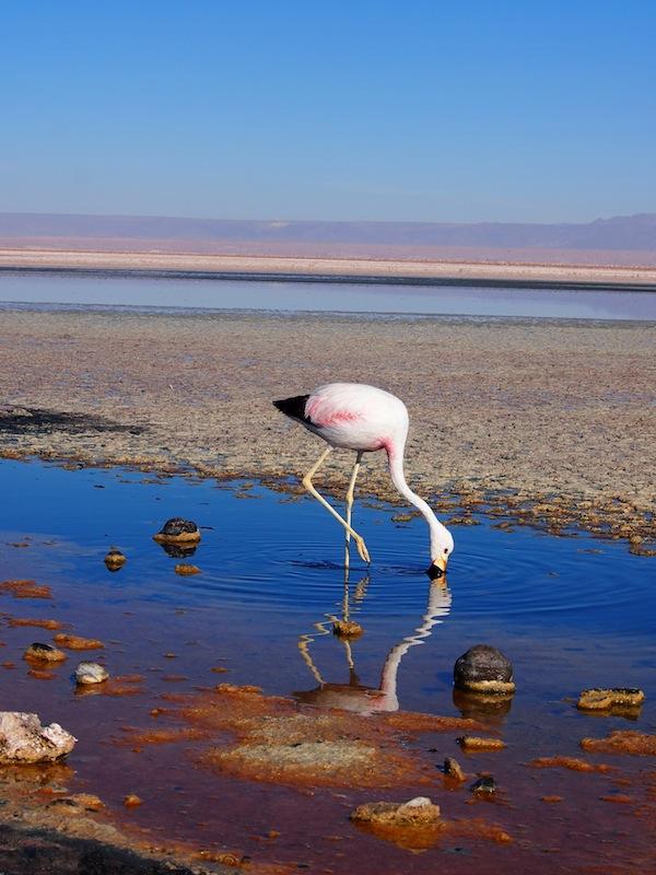 Im Salzwasser schnäbelnde Flamingos, ein Anblick völliger Ruhe und gleichzeitig lebenswichtiger Konzentration, der im Rahmen der bizarren Landschaften der nördlichen Atacama-Wüste in Chile noch heute den Atem raubt.