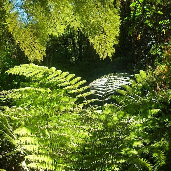 … und noch mehr die der typischen Farne: Groß und mächtig thronen die gewaltigen Baumfarne in Neuseelands Wäldern und an den Küstenabschnitten des Abel Tasman National Park.