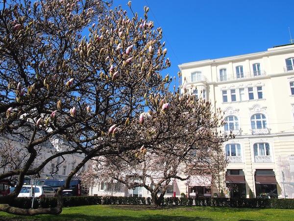 Direkt vor dem Café Classic in der Salzburger Altstadt blühen hier Mitte März schon die Magnolienbäume: Der Frühling hält heuer früh Einzug!