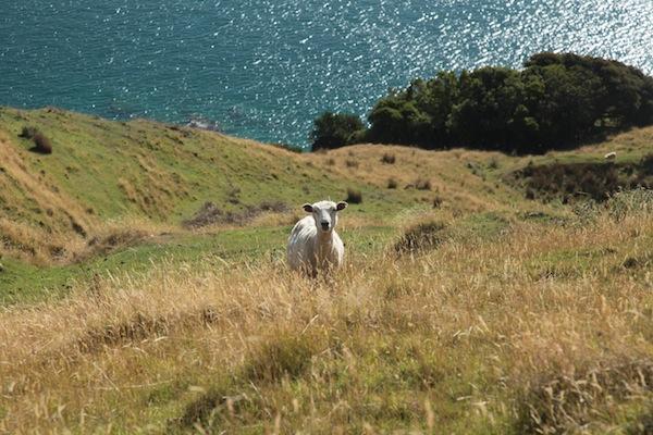 Einsames Schaf in Neuseeland: Wohl eines der klassischsten Landschaftsbilder überhaupt! ;) / Foto: Anna Zell
