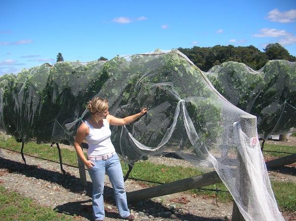 Alltag in Neuseeland bedeutet auch, (fast) jeden Tag Neues zu entdecken: Hier luge ich Mitte Ende Februar unter die Netze eines Weingutes und freue mich auf die bevorstehende Traubenernte.