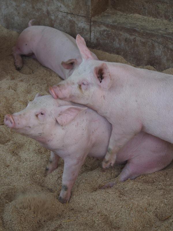 """Gleich zu Beginn wird es """"schweinisch"""": Auf dem Weg zum erstklassigen Schinken führt kein Weg an diesen liebevoll anmutenden Wesen vorbei."""