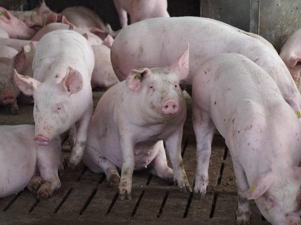 """Wir stehen vor einem echten und gepflegt geführten Schweinestall. """"Viele Besucher sind dennoch empört, Kinder fallen in Ohnmacht"""", erzählt Erwin aus dem Alltag vieler Betriebsbesichtigungen. """"Die Menschen haben einfach keinen Bezug mehr zum Tier, der Burger, die Wurst werden verniedlicht. Bei uns haben Schweine Auslauf, Platz, Dusche und viel gutes Futter, sind aber natürlich auch voller Kratzer, schmutzig, grunzen und quieken. Eine Masche können wir ihnen zur Präsentation hier ja wohl kaum noch umbinden."""""""