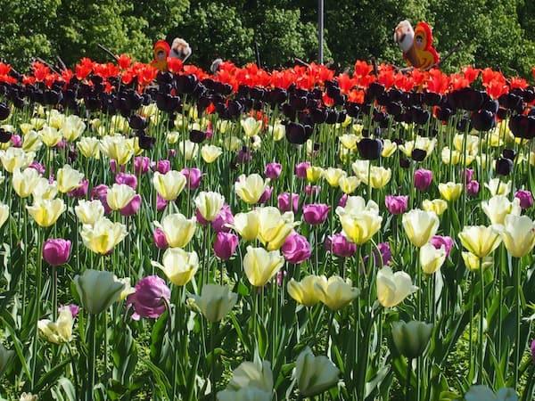 """Ein Meer aus Tulpen bildet den Abschied """"unserer"""" Parade: Was für eine Zeit hier in Oslo!"""