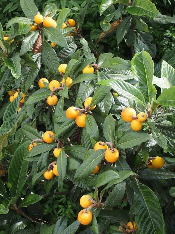 Wir entdecken sogenannte Brustbeeren, eine endemische Obstsorte der Euganeischen Hügeln ...