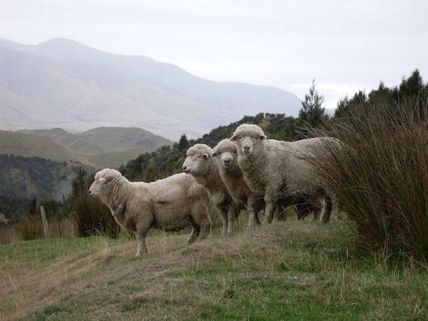 Die Schafe werde ich dann aber nicht ganz los ...