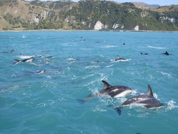 "... Schwimmen mit diesen lebenslustigen Zeitgenossen, den majestätischen Hector Dolphins. ""You do not come to check them out, they come to check you out"", lautet die Devise während man mit den Tieren im Wasser treibt. Faszinierend!"