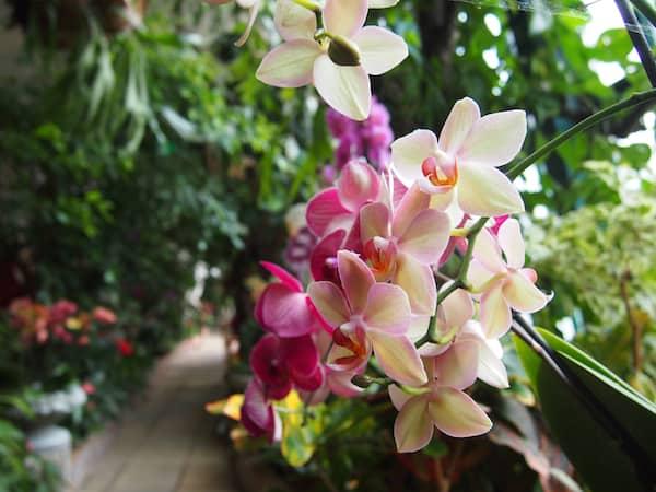 Hier finden wir gar blühende Orchideen in der historischen Orangerie des Stiftes vor!