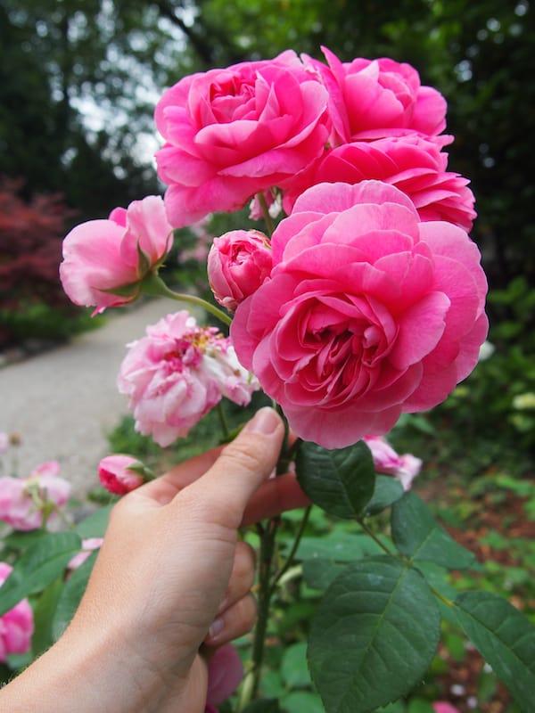 ... und versinken, glücklich und in Absolution, im Duft dieser immensen Rosen ... zum Niederknien und Innehalten.