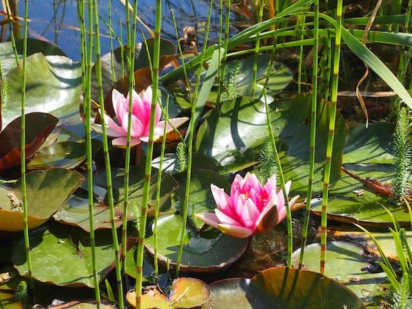 Seerosen blühen hier und begrüßen den Hinduismus im Garten ...