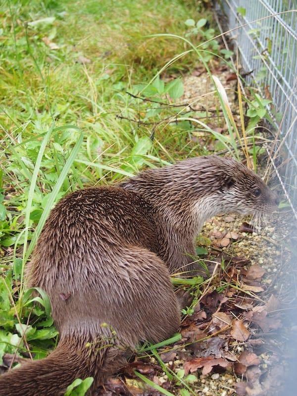 .. die Fischotter hier im Naturpark Hochmoor Schrems sind einfach zu süß!