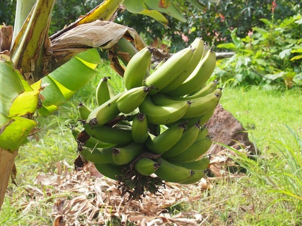 Fresh bananas grown in people's yards …
