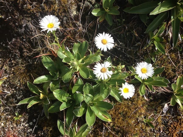 "Morning delight: Mountain daisies, the ""Kiwi Edelweiss"", greet us on this altitude of about 1000 metres above sea level."
