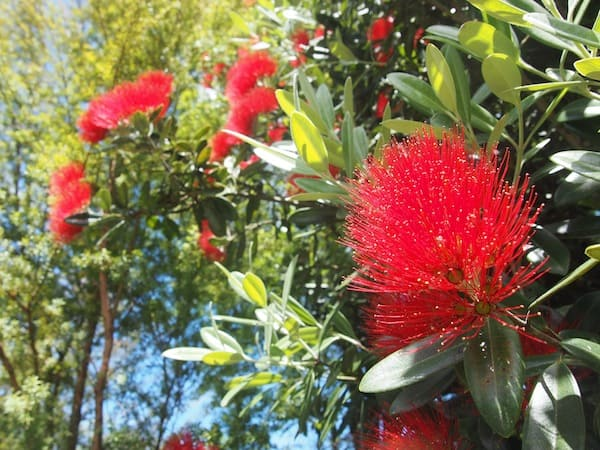 Mother Nature, who continues to enchant us offering us the large Pohutukawa flowers on this tree for instance ...
