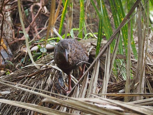 ... as well as wildlife close-up: This weka bush hen comes to check me out, rather than the other way round!